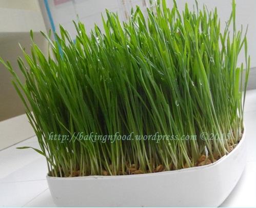 Rumput gandum